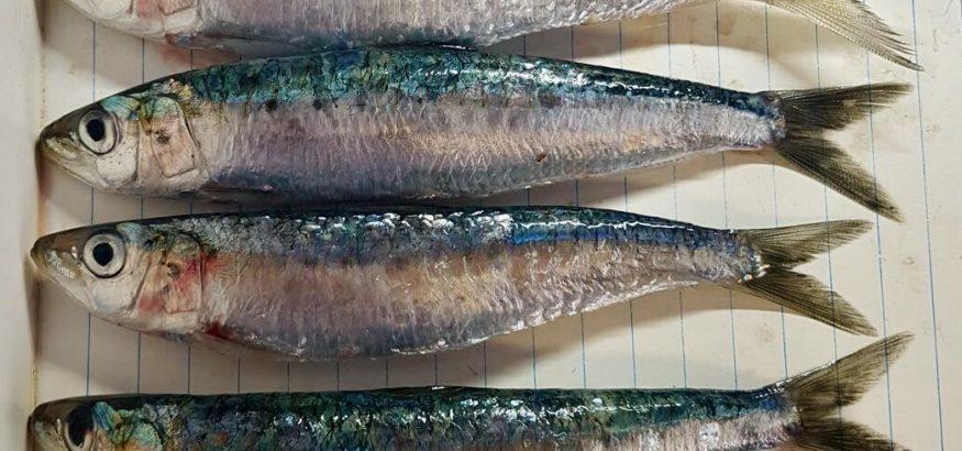 sardina-con-sello-azul-msc